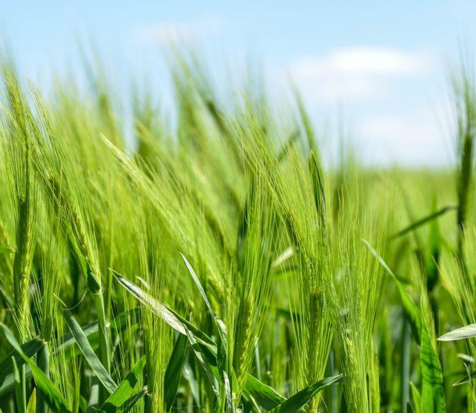 barley-872000_1920